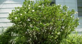 gardenia_arbuste_fleurs_blanches_maison_printemps-full-12238049